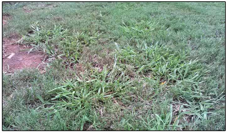 Common Types Of Weeds We See In Our Region That Can Be Difficult To Control Are Gry Such As Dallisgr Goosegr And Nutsedge Well